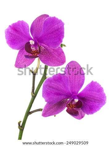Blooming twig of lilac orchid, phalaenopsis isolated on white background. - stock photo