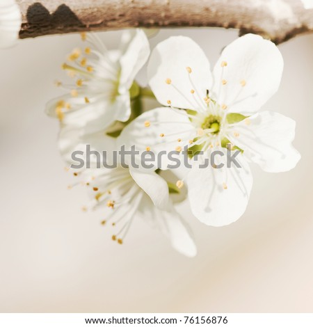 blooming twig of plum tree - stock photo