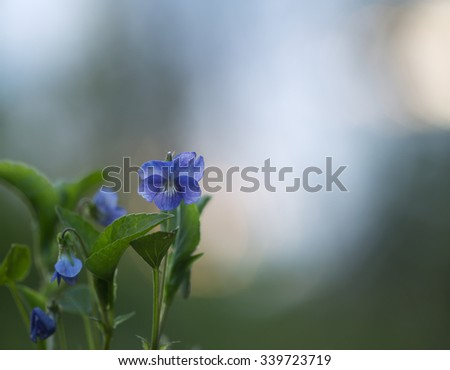 Blooming violet - stock photo