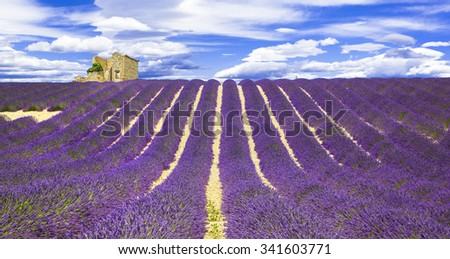 blooming violet fields of lavander in Provance, France