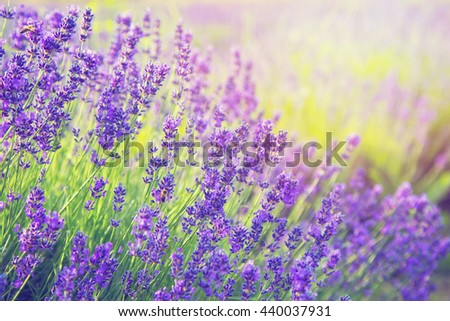 Blooming violet lavender in the sun - stock photo