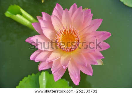 Blooming waterlily. - stock photo