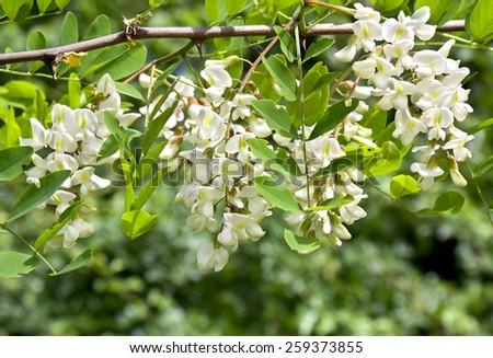 Blooming white acacia  in garden. - stock photo