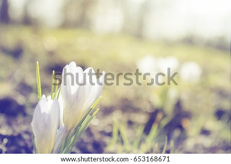 Blooming white crocus close up growing in wildlife. Spring nature background for greeting card, calendar design.
