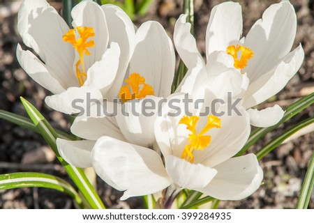blooming white crocus flower in the bud - stock photo