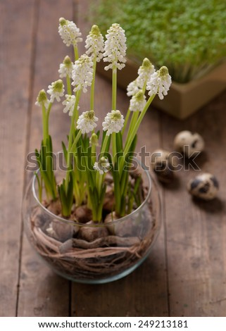 Blooming white grape hyacinth flowers. Easter decoration. - stock photo