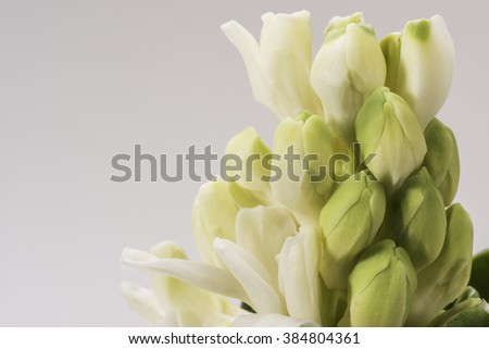 Blooming white hyacinth flower close-up. Macro shot from the well known spring flower the Hyacinth. The flower is just started blooming, it has white to green gradient petals. - stock photo