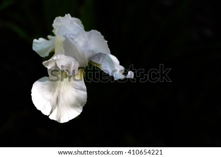 Blooming white iris flower lit by sun light over black background with free space, view from above