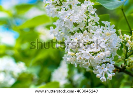 Blooming white lilac flowers - floral background with free space for text.  - stock photo