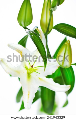 Blooming white lily closeup on white background. Pure romantic flower. - stock photo
