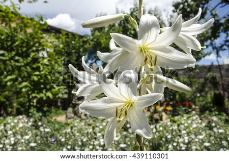 Blooming white lily on the patio among the trees - stock photo