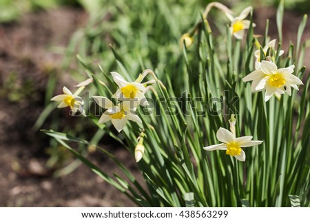 blooming white narcissuses in spring day close up - stock photo