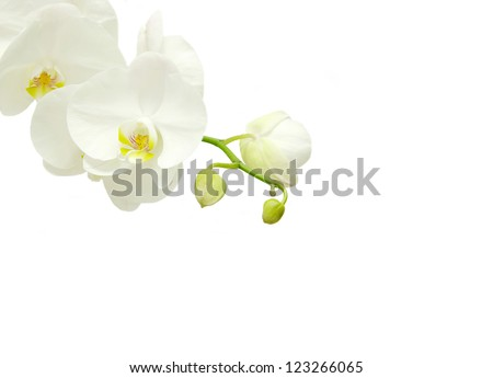 Blooming white orchids flower isolated on white background - stock photo