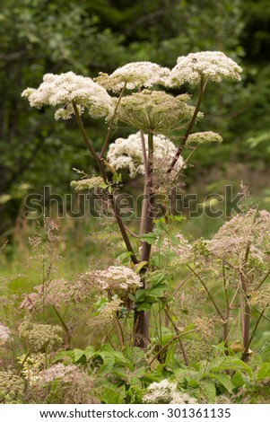 Blooming wild angelica, Angelica sylvestris - stock photo