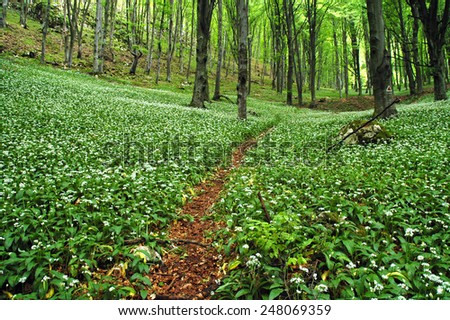 Blooming wild garlic in forest - stock photo