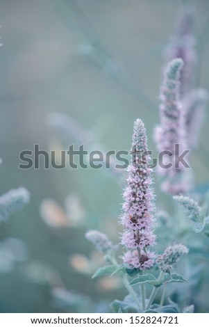 Blooming wild mint during sunrise  - stock photo