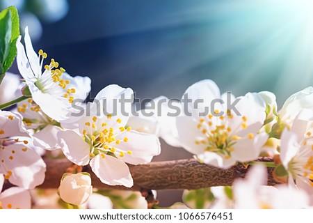stock-photo-blooming-wild-plum-tree-in-s