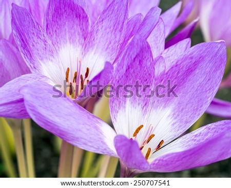 Blooming wild purple crocus flowers in spring time - stock photo