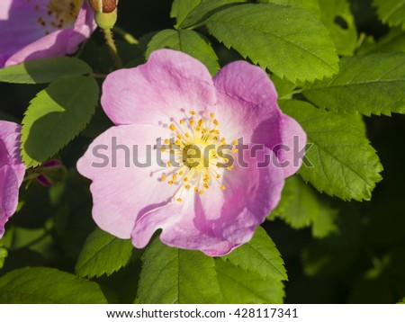 Blooming wild rose flower macro, shallow DOF, selective focus - stock photo