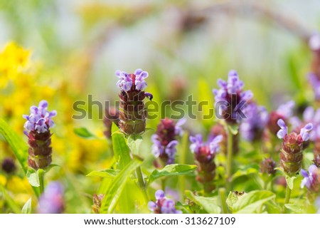 Blooming wild tyme in nature - stock photo