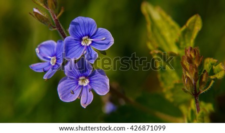 Blooming wildflowers in a meadow. close up. blue blooming Cardamine pratensis against the green blurred nature background of a rural field. small depth of field. - stock photo