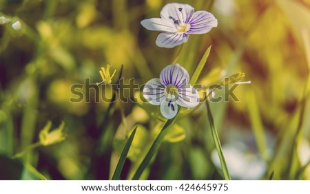 Blooming wildflowers in a meadow. close up. Lilac blooming Cardamine pratensis against the blurred nature background of a rural field. instagram toning efect - stock photo