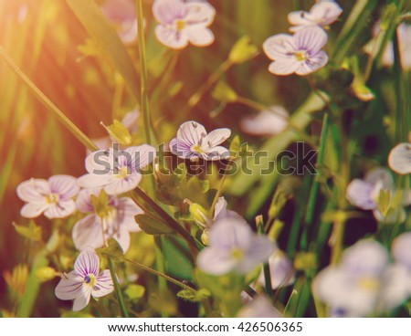 Blooming wildflowers in a meadow. close up. lilac blooming Cardamine pratensis against the blurred nature background . Group of blue flowers in green grass. soft light effect. instagram toned  - stock photo