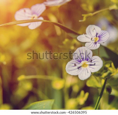 Blooming wildflowers in a meadow. close up.Lilac blooming Cardamine pratensis against the blurred natural background of a rural field. square - stock photo