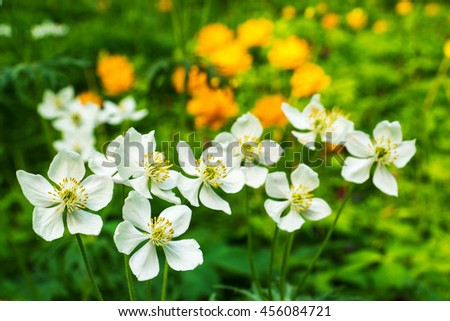 blooming wildflowers in Siberia forest