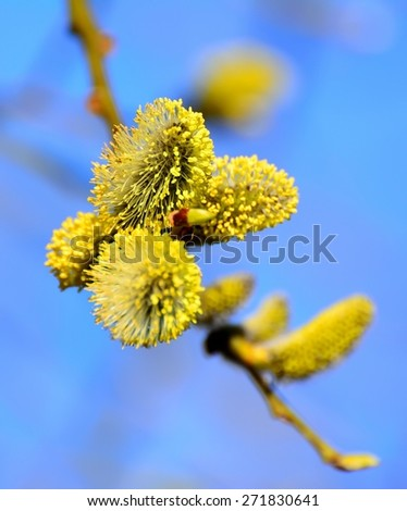 blooming willow - stock photo