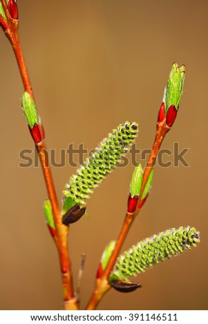 Blooming willow branch. Willow buds. Spring sunlight. - stock photo