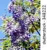 Blooming Wisteria - stock photo