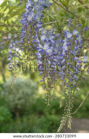 Blooming wisteria plant with lilac blossoms in romantic springtime garden  Ornamental Japanese wisteria blossoming in spring, closeup perfect for garden blogs, websites, books - stock photo
