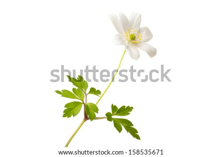 Blooming wood anemone isolated on white background - stock photo