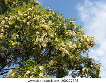 Blooming yellow acacia tree - stock photo