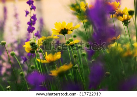 blooming yellow coreopsis flowers - stock photo