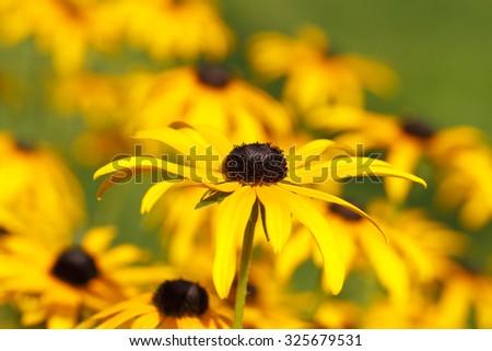Blooming Yellow Cornflower (Echinacea) in a garden - stock photo