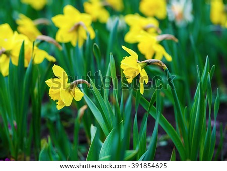 Blooming yellow daffodils . Flowering narcissus. Spring yellow flowers. Shallow depth of field. Selective focus. - stock photo