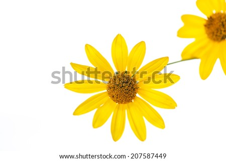 blooming yellow daisies on a white background - stock photo