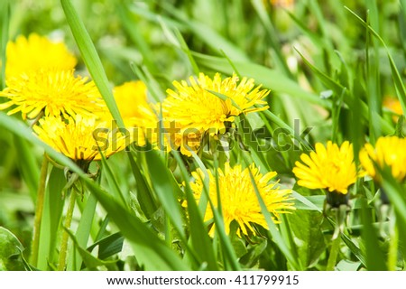 blooming yellow dandelion flower on a sunny day - stock photo