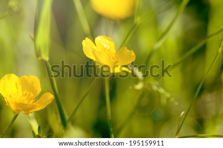 Blooming  yellow flowers  in spring - stock photo