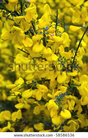 blooming yellow gorse in the Black Forest