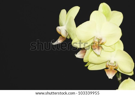 Blooming yellow orchid on a black background