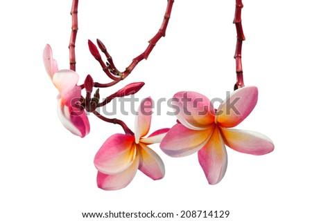 Blooming Yellow Plumeria (frangipani) on white background - stock photo