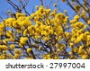 Blooming yellow tree with blue sky - stock photo