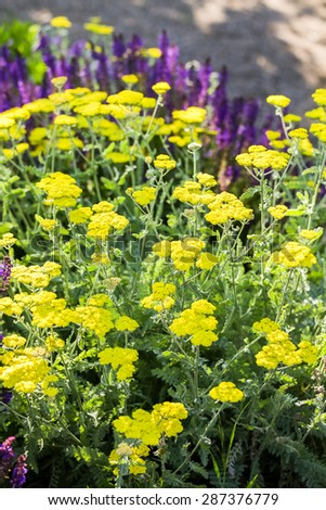 Blooming yellow yarrow in the summer garden. - stock photo