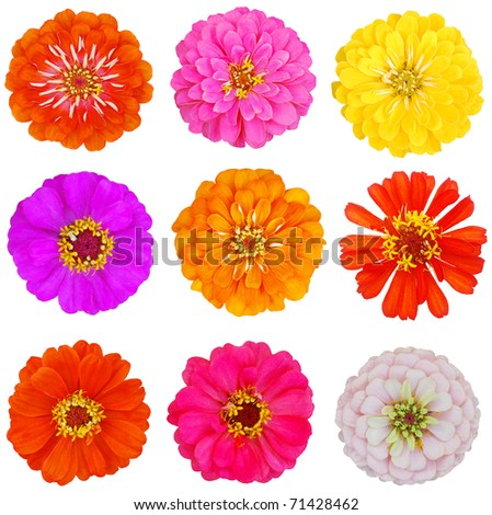 Blooming zinnias in North America Zone