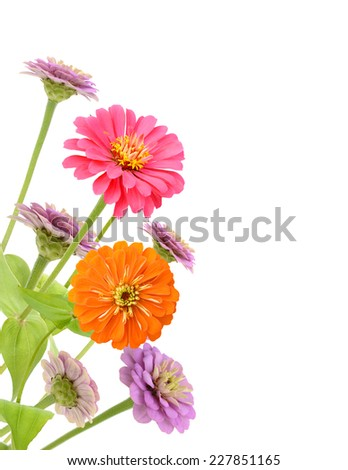 Blooming Zinnias isolated on white background  - stock photo