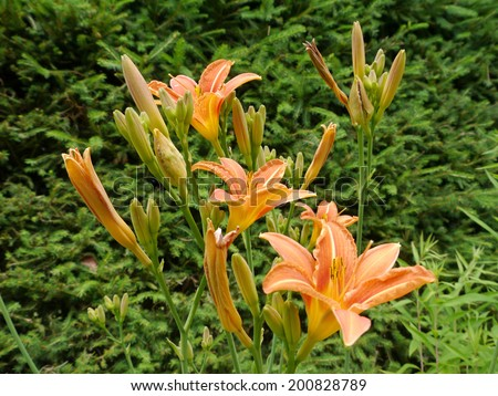 Blooms and buds from a daylily - stock photo