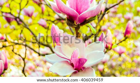Bloomy magnolia tree with big pink flowers.. Spring is here.Blooming magnolia in spring time, pink magnolia flowers. - stock photo